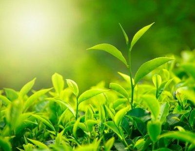 Масло чайного дерева от вшей и гнид: состав и воздействие
